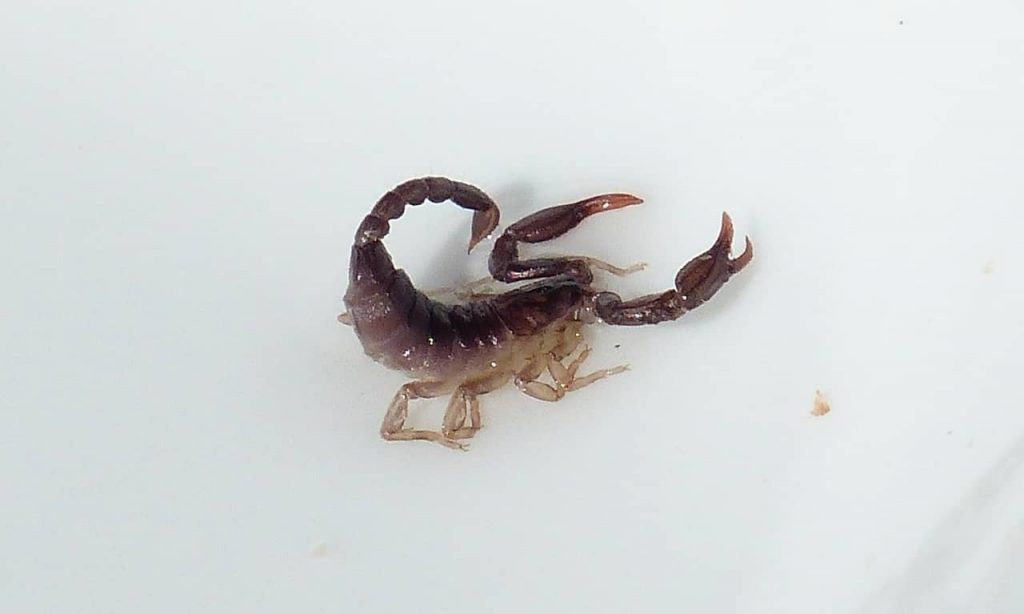 Black scorpion with stinger arched over its back ready to sting